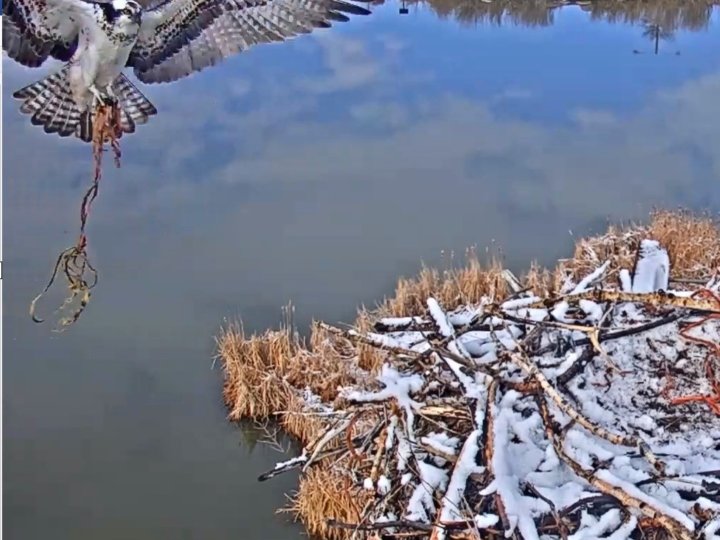 Saturday, March 30: Great Horned Owl again! – OSPREY NOTES